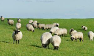 Kdy prozří poslední ovce